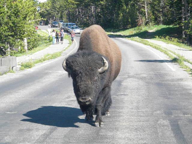 Buffalo Show Down!  Yellowstone, 2011