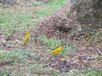 IMG_2504 Yellow Birds Resized