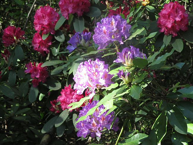 Lithia Park Ashland OR Multicolored Rhododendrons Spring 2015