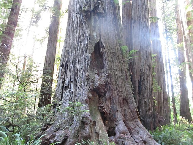 A Scared Tree in Jedediah Smith Redwood State Park Oregon